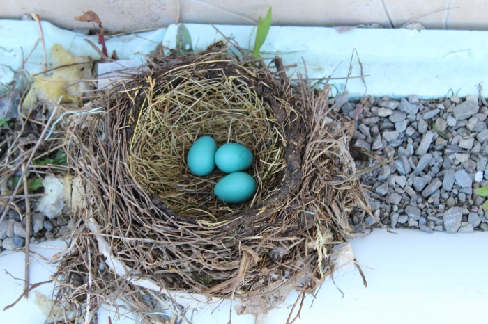 Blue bird eggs in their nest